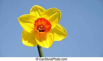 Flower daffodil - Flower of yellow narcissus and blue sky
