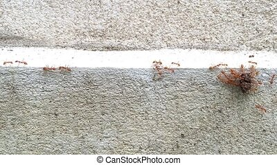 Red Ants carrying their food
