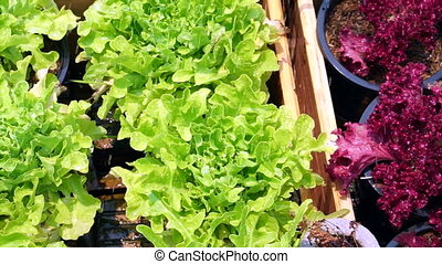 Fresh green organic salad vegetable