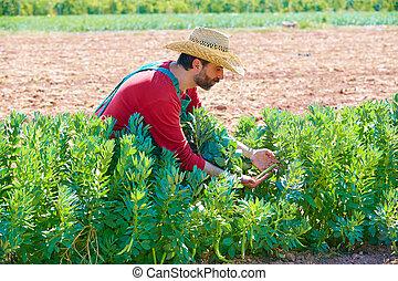 Farmer man harvesting lima beans in orchard