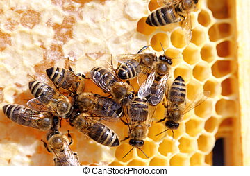 bees on a beeswax - honey bees on a beeswax frame in bee...