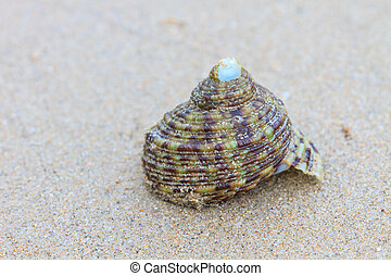 Hermit Crab in a screw shell on tropical sea