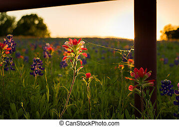 Texas Wildflowers - Texas bluebonnets and Indian pantbrushes...