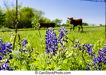 Texas Wildflowers - Texas bluebonnets in front of a rural...