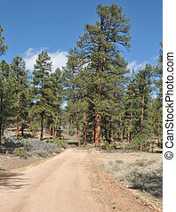 Ponderosa Pines - Ponderosa pines on the back road to the...