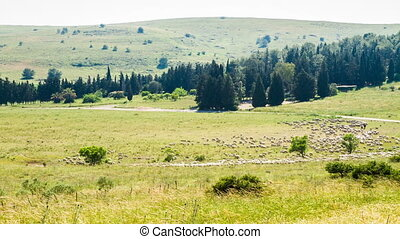 Flock of sheep on green grass . - A flock of sheep grazing...