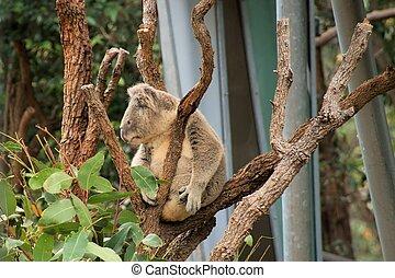 Koala at Taronga Zoo.