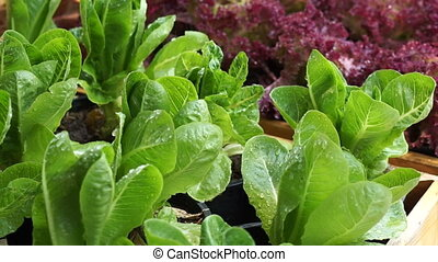 Fresh green organic salad vegetable farm watering