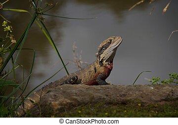 Water Dragon alongside a river. - A beautiful water dragon...