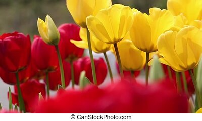 tulips closeup in the park , spring floral background