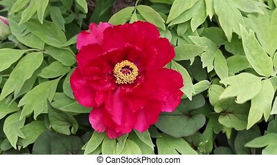 paeonia flower in blossom  (Paeonia suffruticosa)