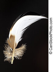 feather of Mandarin Duck Aix galericulata