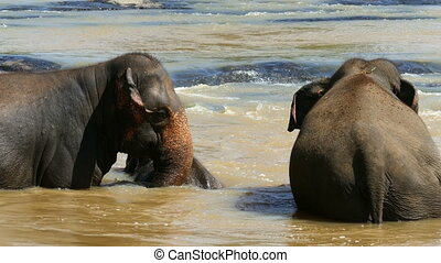 Elephants family is bathing in river in Sri Lanka -...