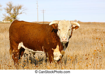 Hereford Bull - a hereford bull standing on pasture