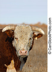 Hereford Bull Portrait - close up portrait of the head of a...