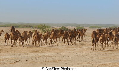 Large herd of camels walking trough desert - Large herd of...