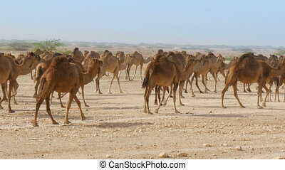 Herd of camels in oman desert - Herd of camels walking in...
