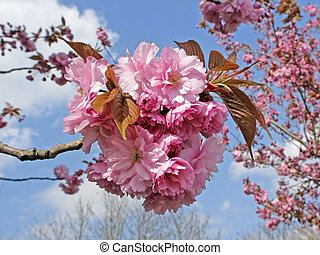 Japanese cherry tree in spring - Prunus, Japanese cherry...