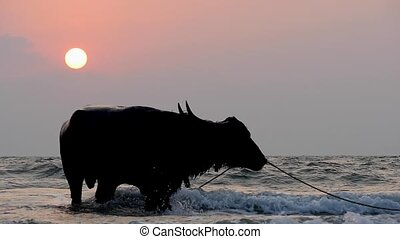 silhouettes of a boy and buffalo bathing in the sea in back...
