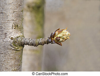 Future flower pear - Full-blown bud tree is a symbol of...