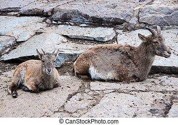 Young and Adult Female Markhors - Young and adult female...