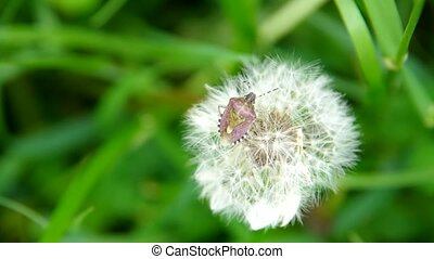 Flowering dandelion and beetle on a green field on the wind...