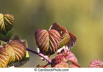 Autumn leaves of a raspberry