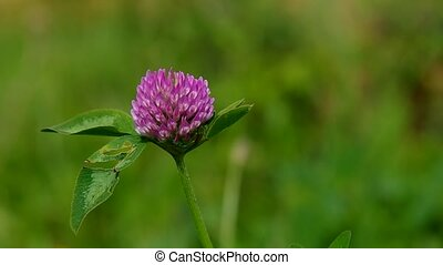 Blooming clover flower in the wind