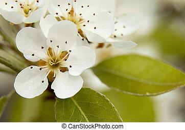 Flower pear - The pear tree is a genus of flowering plants...