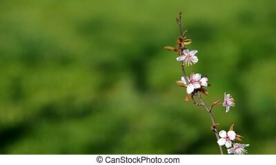 Flowery branch of plum tree on green background in the wind....