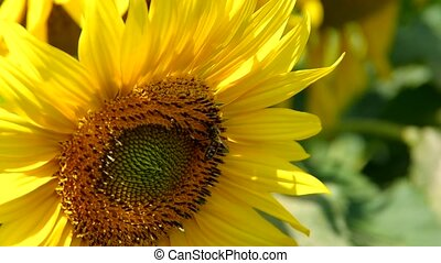 Bee on sunflower - A bee collects pollen on a sunflower...