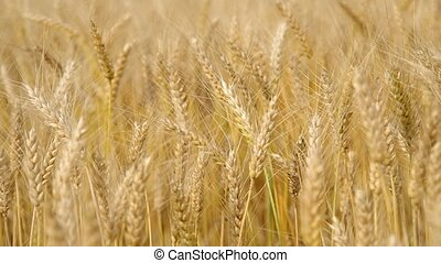 Wheat field in the wind