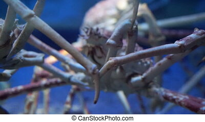 King Crab at aquarium ocean dark blue bottom fighting with...