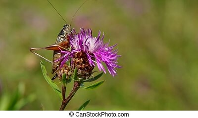 Grasshopper on the thistle - Grasshopper on purple thistle...