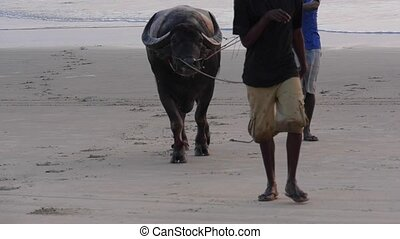 Silhouette of local man and water buffalo at sunrise,