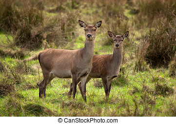 Red Deer at Killarney National Park,Kerry,Ireland