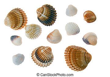 seashell laing on white background - seashell laing on a...