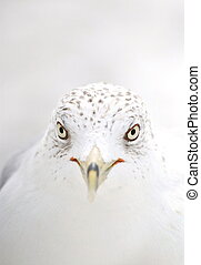 Seagull in high-key - Close-up of a seagull in high-key...