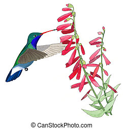Broad-billed Hummingbird male Cynanthus latirostris at...