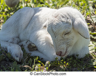 Newborn lamb in a meadow
