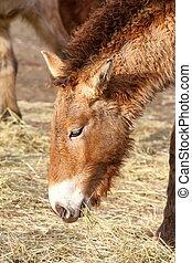 przewalski's horse - photo of the przewalski's horse eating...