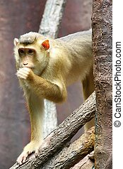 pig-tailed macaque - photo of the one pig-tailed macaque,...