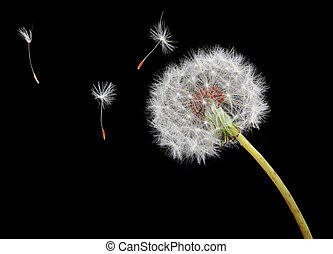 Dandelion seeds floating in wind - Dandelion seeds floating...