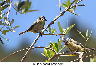 Blue tit male and female