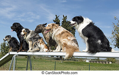 dogs in agility - group of dogs in a training of agility