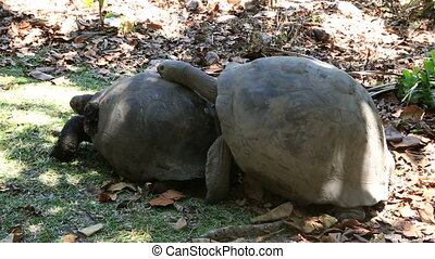 Male courts the female Aldabra giant tortoise. Island...