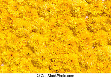 beautiful chrysanthemums flowers - gardening, botany,...