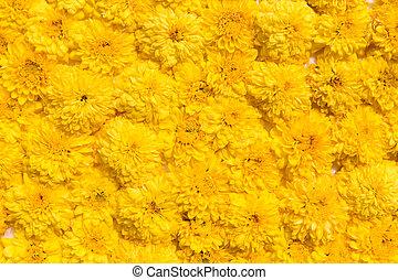 beautiful chrysanthemums flowers - gardening, botany,...