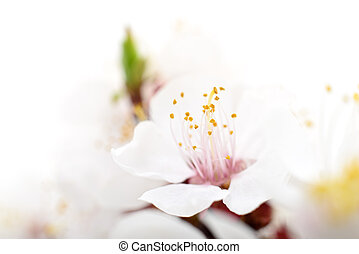 Apricot blossom isolated on a white background