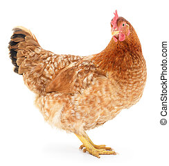 Brown chicken. - Big brown chicken on a white background.
